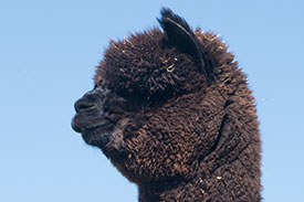 nero black alpacas